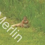 Red Squirrel 2010